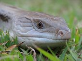 Blue Tongue Lizard 5