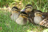 Wild Duck Ducklings (anas Platyrhynchos)