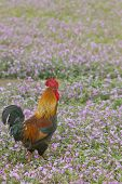 Rooster in a flowers field