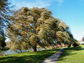 pic of weeping willow tree  - Willow blowing in the wind at veterans memorial park