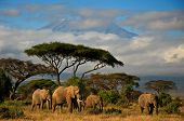 elephant herd in front of Mt.Kilimanjaro