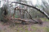 Pine Tree Felled After Storm