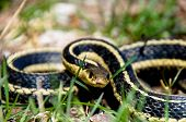 stock photo of garden snake  - A Common Garter Snake posed to stirke.