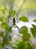 Argiope Writing Spider on her Web
