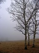stock photo of casper  - Aspen trees next to a foggy meadow on Casper Mountain near Casper WY - JPG