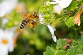Flying worker honey bee with bee pollen feeding on Bacopa flower, Big yellow balls of collected pack poster