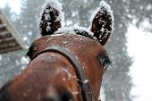 Horse with snow covered ears