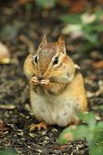 stock photo of full cheeks  - Eastern Chipmunk  - JPG