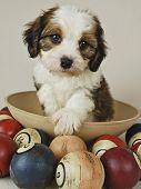 Постер, плакат: Cavachon щенок