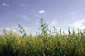 The field of oat.