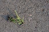 Small Pine Pushing It's Way Through Asphalt
