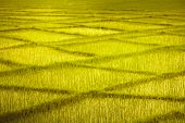 Yellow green wheat fields with the crossing rows looking like rectangular pattern. Perfect backgroun poster