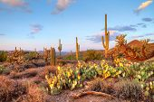 stock photo of prickly pears  - Late light illuminates Saguaros in Sonoran Desert - JPG