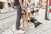 A Man Stroking A Homeless Dog ​​on A City Street Surrounded By Other Stray Dogs. Сoncept Of Sympathy poster