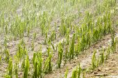 Hail Damaged Corn Field - Storm Disaster