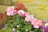 Buds Of Pink Blooming Roses In The Garden, Green Background poster