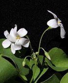 Oxalis flowers