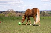 foto of dodecahedron  - Pony pushing her toy about the field so the treats can fall out - JPG