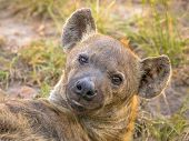 Spotted Hyena (crocuta Crocuta) Scavenger Portrait On Green Grass Background Under Morning Light In  poster