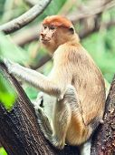 Proboscis monkey (Nasalis larvatus) or long-nosed monkey