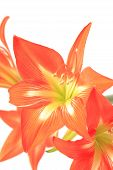 Photo beautiful red lily on white background