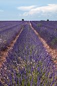 Horizon of rows of scented flowers in the lavender fields of the French Provence near Valensole