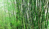 Bambusse