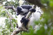 Indri, The Biggest Lemur Of The World poster