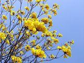 Yellow Poui Tabebui