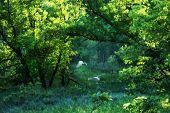 Light Throu Trees W Egret