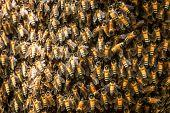 Bee Swarm Close Up Photo,asiatic Honey Bee, Apis Cerana, Wild Bee Swarm On Branch In Jungle. Wilpatt poster