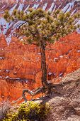 Pinyon Kiefer Baum Bryce CanyonNationalpark