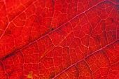 Closeup Autumn Fall Extreme Macro Texture View Of Red Orange Green Wood Sheet Tree Leaf Glow In Sun  poster