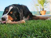 Bernese Mountain Dog Chewing Bone