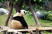 Grand Panda Bear