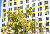 Tree With Yellowed Leaves. A Tree With Yellowed Leaves Grows In Front Of A Multi-story Building. The poster