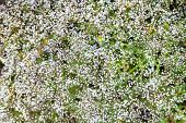 Gypsophila (also Known As Babys-breath, Or Babes Breath) Flowers Closeup poster