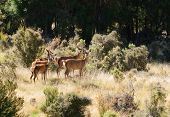 group of female Red Deer watching and waiting in the South Island of New Zealand