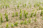 Hail damaged agricultural field - Weather Storm Disaster