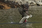 Osprey Grabs The Fish As It Flies Off. An Osprey Flies Out From The Water With A Salmon In Its Talon poster