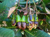 Cashew nut farm