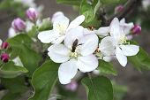 Pollinating Apple Blossom