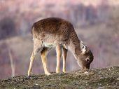 Becerro de ciervos pastando