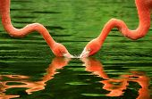 Flamingos Symmetrically Reflected On Water