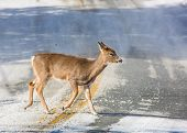 A White-tailed Doe Deer Crosses The Road