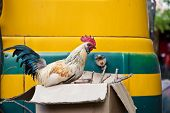 Rooster Sitting On Cardboard Box