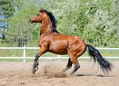 Rearing bay stallion of Ukrainian riding breed on manege