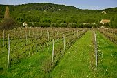Green Vineyards Of Cassis On The Background Of The Hill