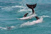 agitando dolpins