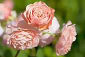 An English rose from the rose breeder David Austin, called Leander.  Deep apricot fragrant blooms ap